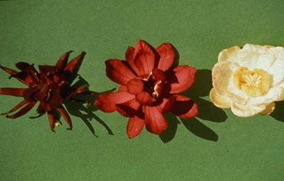 Calycanthus floridus, left. Calycanthus chinensis, right Calycanthus x raulstonii, center.