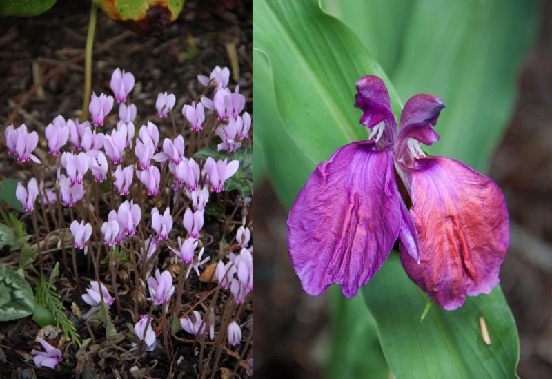Cyclamen hederifolium (left) and Roscoea purpurea (right)