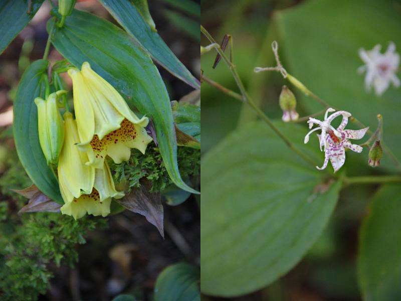 tricyrtis macranthopsis y maculata