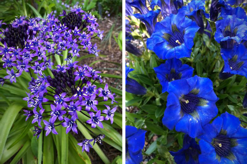 Scilla peruviana (left) and Gentiana acaulis