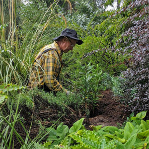 Duane West planting Carpenteria californica 'Elizabeth' at Heronswood